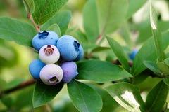狂放的蓝莓 免版税库存图片
