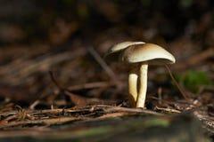 狂放的蘑菇在森林里在一晴朗的秋天天 免版税图库摄影