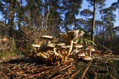 狂放的蘑菇在森林里在一晴朗的秋天天 免版税库存照片