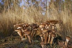 狂放的蘑菇在森林里在一晴朗的秋天天 库存照片