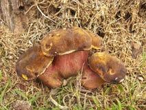 狂放的蘑菇牛肝菌蕈类 免版税库存图片