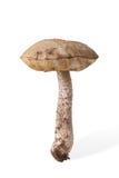 狂放的蘑菇褐色盖帽牛肝菌蕈类& x28秋天收获; Leccinum& x29;iso 库存图片