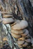 狂放的蘑菇-牡蛎 库存图片