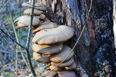 狂放的蘑菇-牡蛎 免版税库存图片