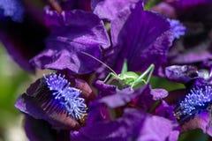 狂放的虹膜和一只绿色蚂蚱在它 免版税库存照片