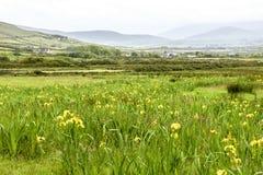 狂放的虹膜在爱尔兰 库存图片
