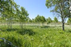 狂放的虹膜草甸混和了入震动白杨树丛  库存图片