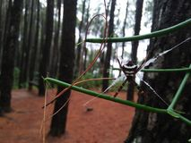 狂放的蜘蛛在杉木森林里 免版税库存图片