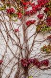 狂放的蠕动的藤Ampelopsis葡萄分支 秋季 充满活力 库存图片