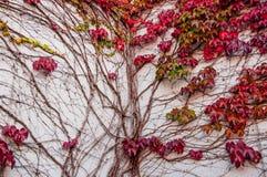 狂放的蠕动的藤Ampelopsis葡萄分支 秋季 充满活力 免版税库存图片