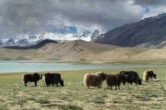 狂放的西藏牦牛牧群在蓝色湖,喜马拉雅山,北印度的岸的绿色牧场地吃草 免版税库存照片