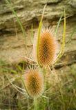 狂放的起毛机野生植物的负责人 库存图片