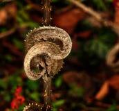 狂放的起毛机/更加充分的` s起毛机干燥叶子  免版税库存照片
