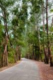 狂放的路,森林公路,杉树路 免版税库存照片