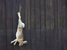 狂放的野兔在寻找以后 免版税库存照片