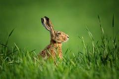 狂放的野兔,盖用露水下落,坐在草在阳光下 库存图片