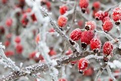 狂放的野玫瑰果分支用在冰的红色莓果 免版税库存照片
