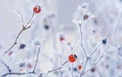 狂放的野玫瑰果分支用用hoarfro盖的红色莓果 免版税库存图片