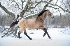 狂放的野马马赛跑疾驰在冬天森林里 免版税库存照片
