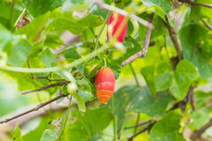 狂放的金瓜果子 库存图片