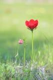 狂放的银莲花属 库存照片