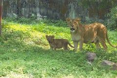 狂放的雌狮和的崽 免版税库存照片
