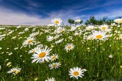 狂放的雏菊花在春天 免版税库存照片