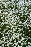 狂放的雏菊领域透视 库存照片