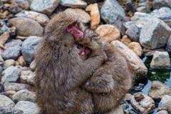 狂放的雪猴子拥抱3 免版税库存图片