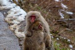 狂放的雪猴子拥抱1 免版税库存图片