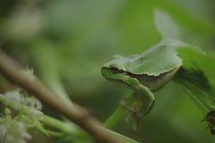 狂放的青蛙雨蛙arborea 库存照片