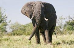 狂放的非洲大象 免版税库存图片