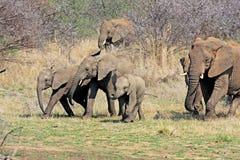 狂放的非洲大象 图库摄影