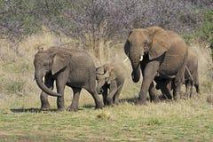 狂放的非洲大象 免版税图库摄影