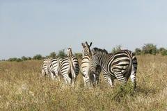狂放的非洲斑马牧群 库存图片