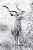 狂放的非洲kudu 库存照片