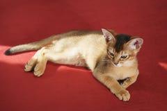 狂放的颜色埃塞俄比亚小猫说谎在桌上的3个月疲倦了 免版税库存照片