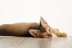 狂放的颜色埃塞俄比亚小猫说谎在桌上的3个月看对照相机 免版税库存照片