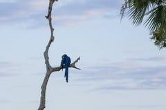 狂放的风信花金刚鹦鹉修饰在光秃的分支的翼 库存照片