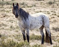 狂放的马驹-澳大利亚的Brumby 免版税库存照片