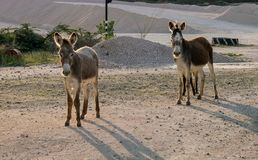 狂放的驴库拉索岛景色 免版税库存照片