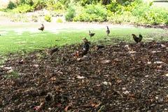 狂放的鸡在考艾岛,夏威夷 图库摄影