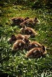 狂放的鹅小鸡 免版税库存图片