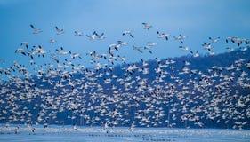 狂放的鹅旅行 免版税图库摄影