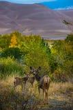 狂放的鹿家庭科罗拉多沙丘野生生物 库存照片