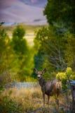 狂放的鹿科罗拉多野生生物 库存照片