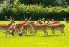 狂放的鹿英国乡下新的森林汉普郡南部的英国牧群  免版税库存照片