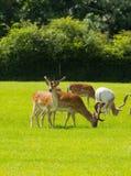 狂放的鹿英国乡下新的森林汉普郡南部的英国 库存照片