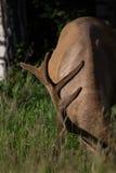 狂放的鹿角的公牛麋或马鹿& x28; 鹿canadensis& x29;吃草班夫国家公园亚伯大加拿大 库存图片