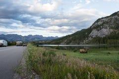 狂放的鹿角的公牛麋或马鹿& x28; 鹿canadensis& x29;吃草班夫国家公园亚伯大加拿大 免版税图库摄影